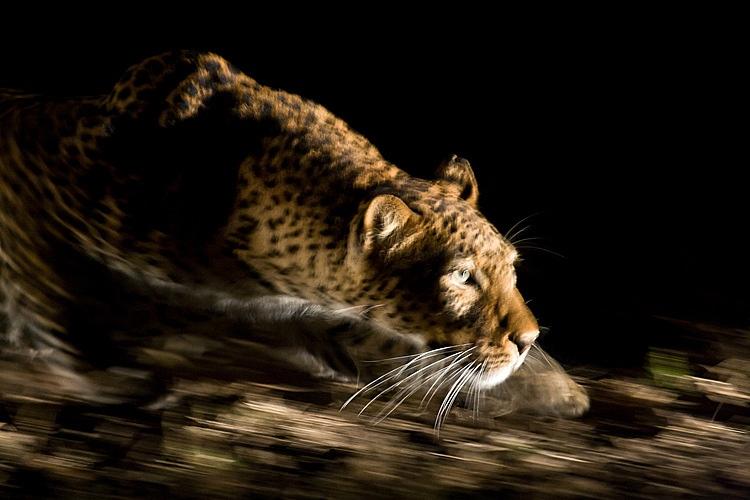 """Résultat de recherche d'images pour """"La Nuit :léopard, panthera pardus"""""""
