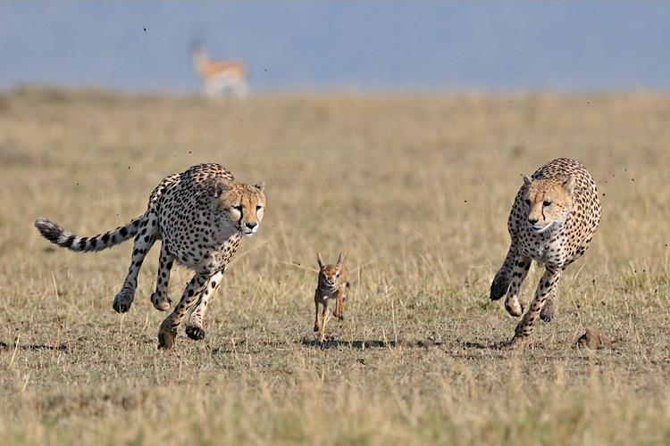 Denis Sekula - Chasse de guépards sur une jeune gazelle