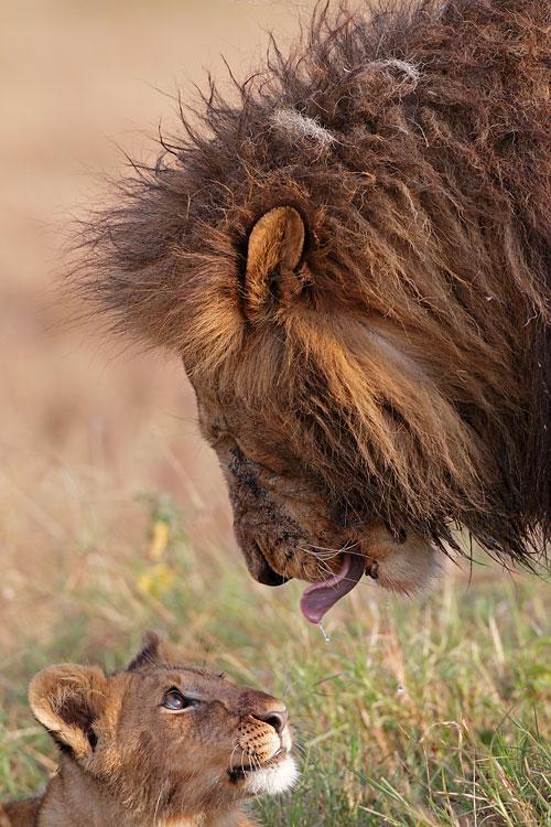 Denis Sekula - Lion et lionceau
