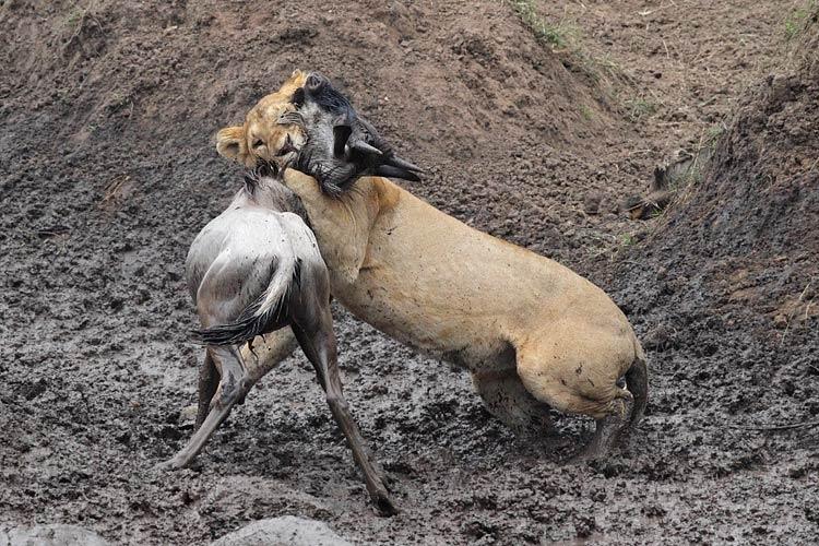 Denis Sekula - Lion et jeune gnou