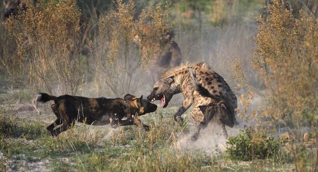 Combat entre une hyène et un wild dog - Crédit photo : Grégoire Bouguereau