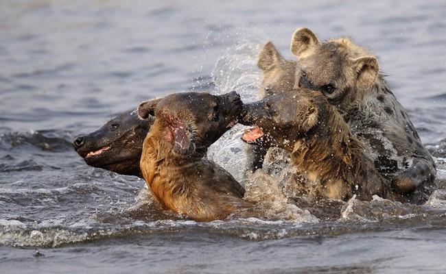 Affrontement de hyènes dans l'eau - Crédit photo : Gregoire Bouguereau