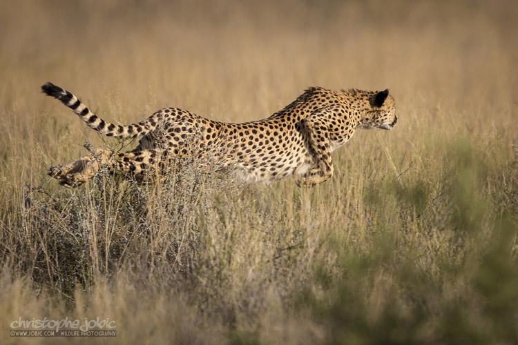 Guépard du Kalahari à Mabuasehube
