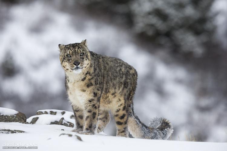Léopard des neiges captif et dressé pour le cinéma, photographié en milieu naturel