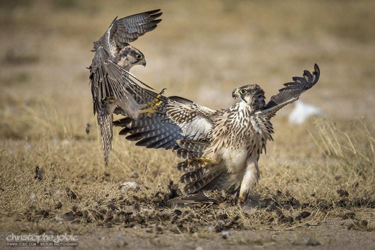 Combat de faucons laniers