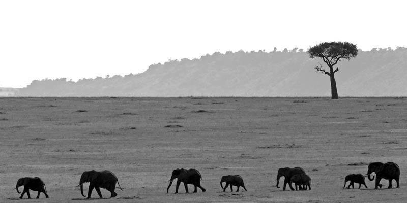 Laurent Baheux - Course d'éléphants