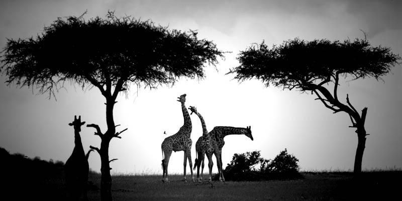 Laurent Baheux - Parade de girafes