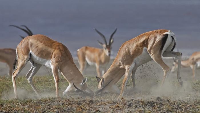 Laurent Renaud - combat gazelle de Grant