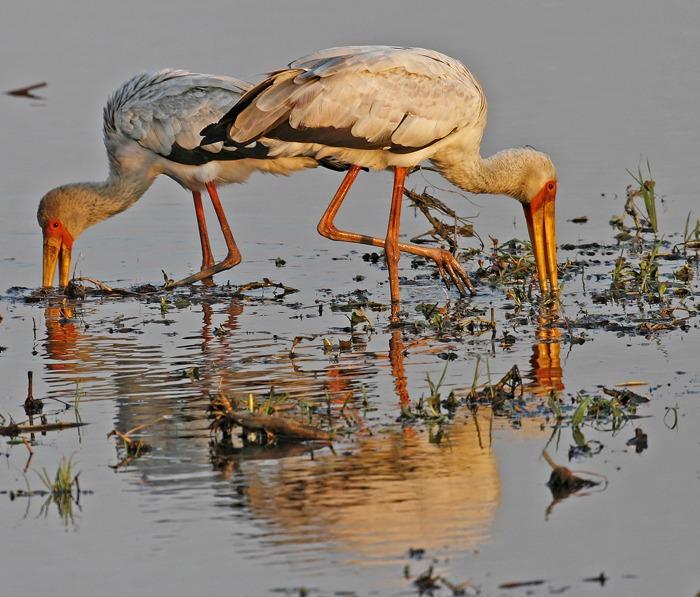 Laurent Renaud - Tantales ibis