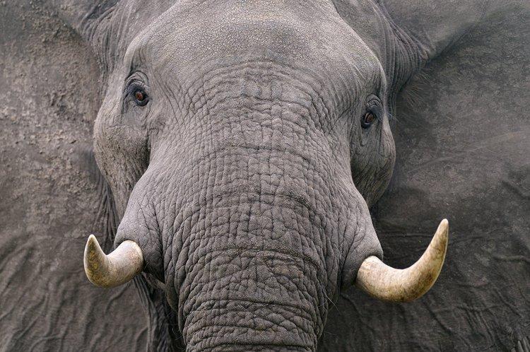 Elephant - Michel Bureau