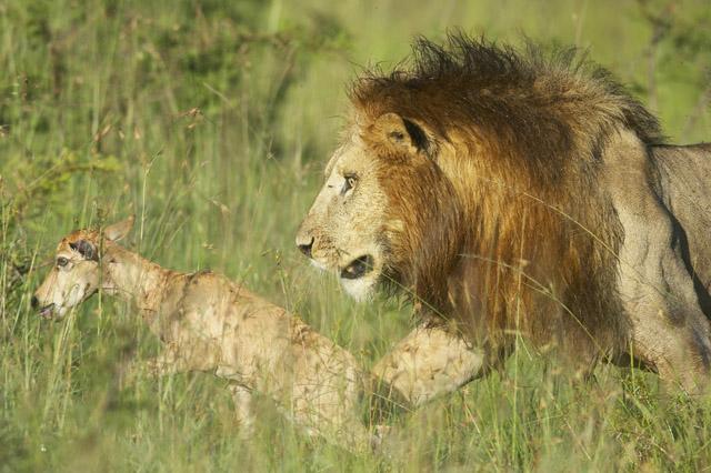 Chrstine et Michel Denis-Huot - Lion mâle jouant avec une jeune antilope