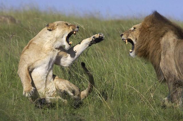 Chrstine et Michel Denis-Huot - Lions mâle et femelle