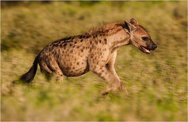 Pascal Clochez - Hyene