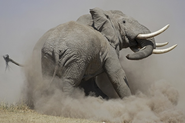 Tony Crocetta - Le choc des titans (éléphants)