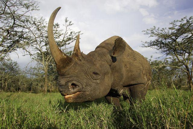 Tony Crocetta - Rhinocéros noir